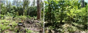 A plot in the Liko Nā Pilina experiment after initial planting (left) and after 3.5 years of growth (right). In the background are existing canopy trees and in the foreground are outplants. The rocky, volcanic substrate can be seen.