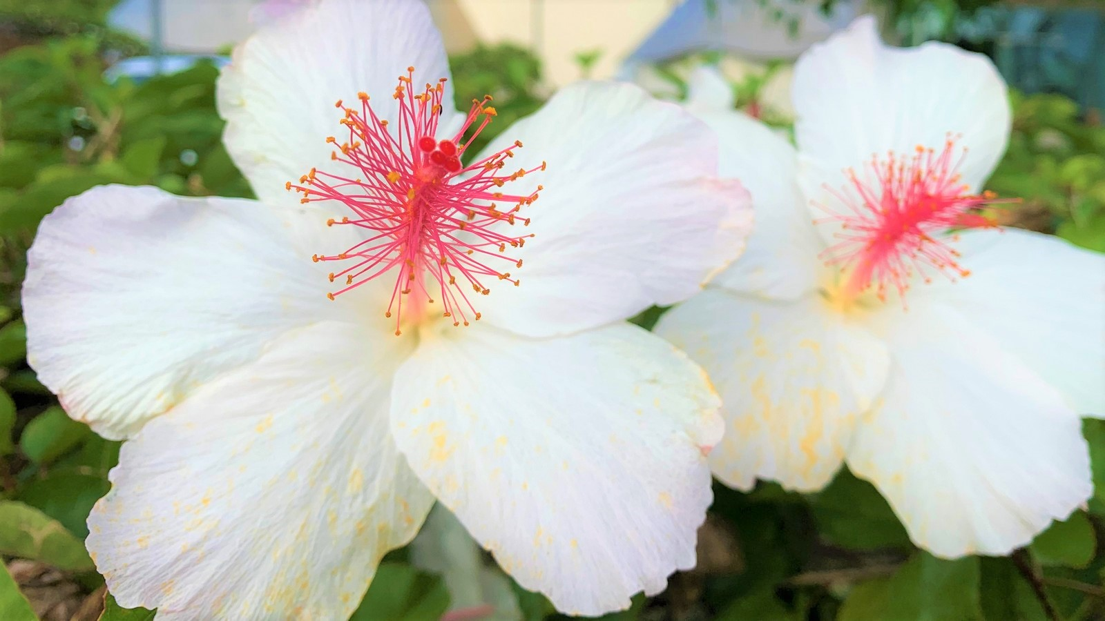 Two white hibiscus with red and yellow stamen.