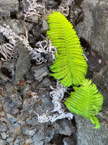 Bright green fern surrounded by lava and dead ferns.