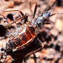 Wēkiu bug on ground.