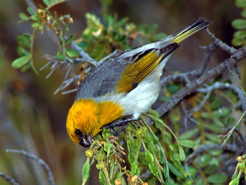Yellow, gray and white bird on tree branch, nibbling at leaves.