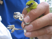 A person hold a little green bird with deformed feet.