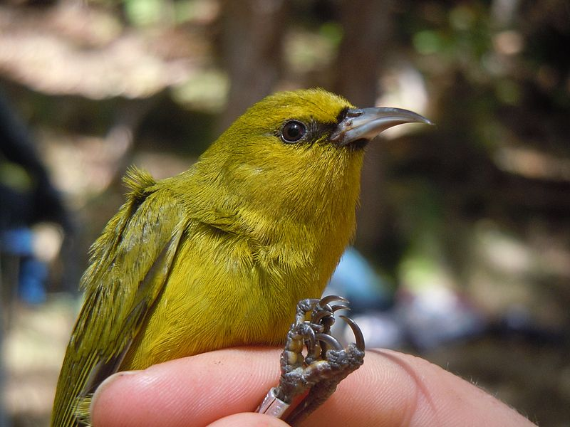 A beautiful little green bird with black, slender bill, is held gently by the legs. One leg is banded.