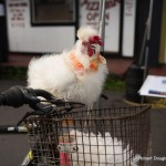 A white fluffy chicken catches a ride in the basket of a bicycle.
