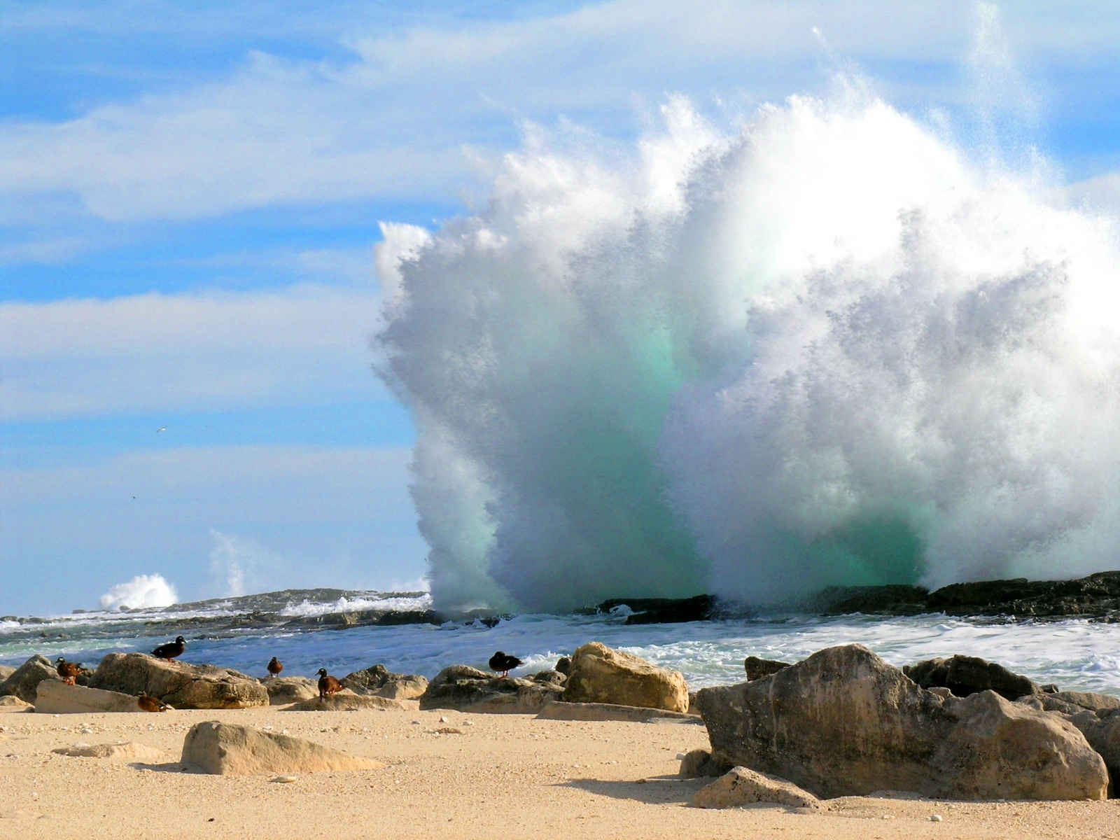 A large wave crashing the reef, endangered Laysan teal on beach in the foreground.