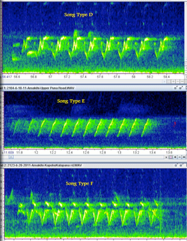 'Amakihi song spectrogram.