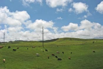 Cattle grazing in pastures in Waimea on Hawaii Island.