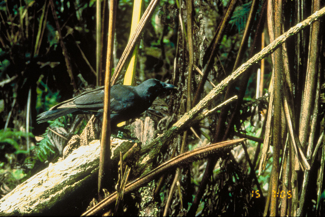 Crow in the brush.