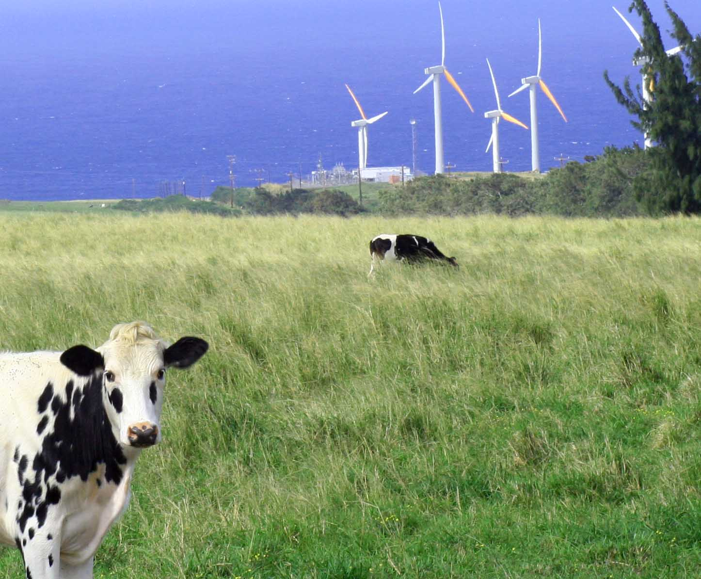 Wind Farm. Cows and wind turbines in pasture, ocean in background.