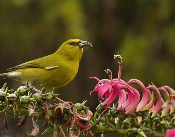 Collaborative study shows Kaua'i forest birds at tipping point toward extinction