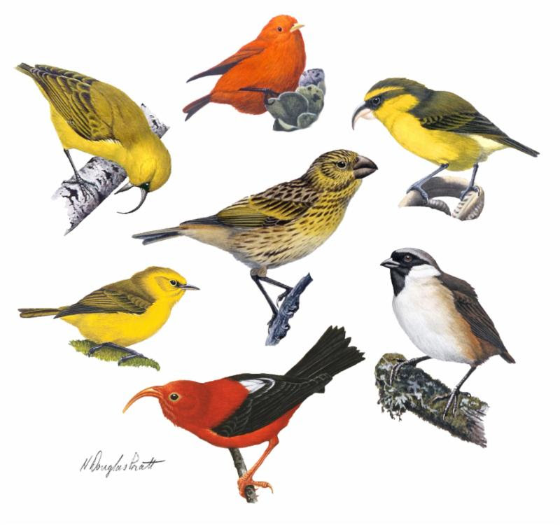 Drawings of Hawaiian birds.