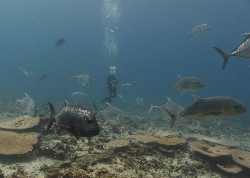Diver in ulua school, reef below.