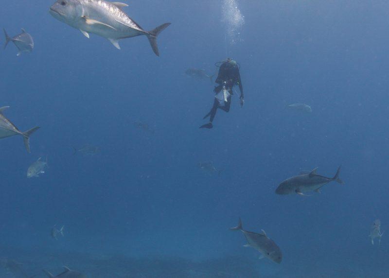 Diver in ulua school.