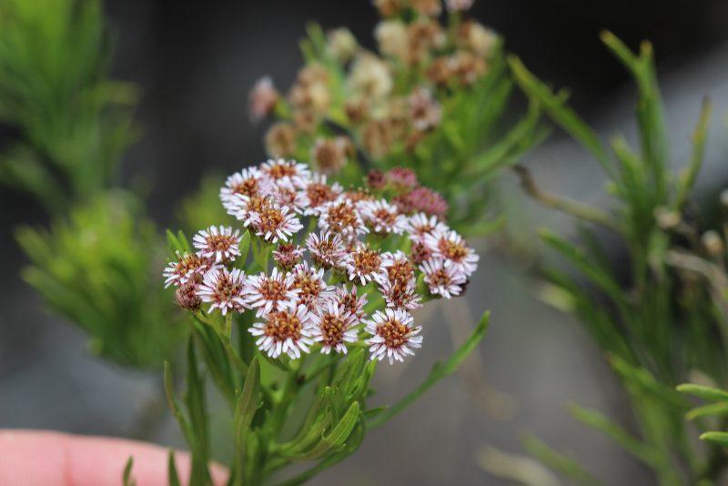 Tetramolopium consanguineum floweres, small brown and white.