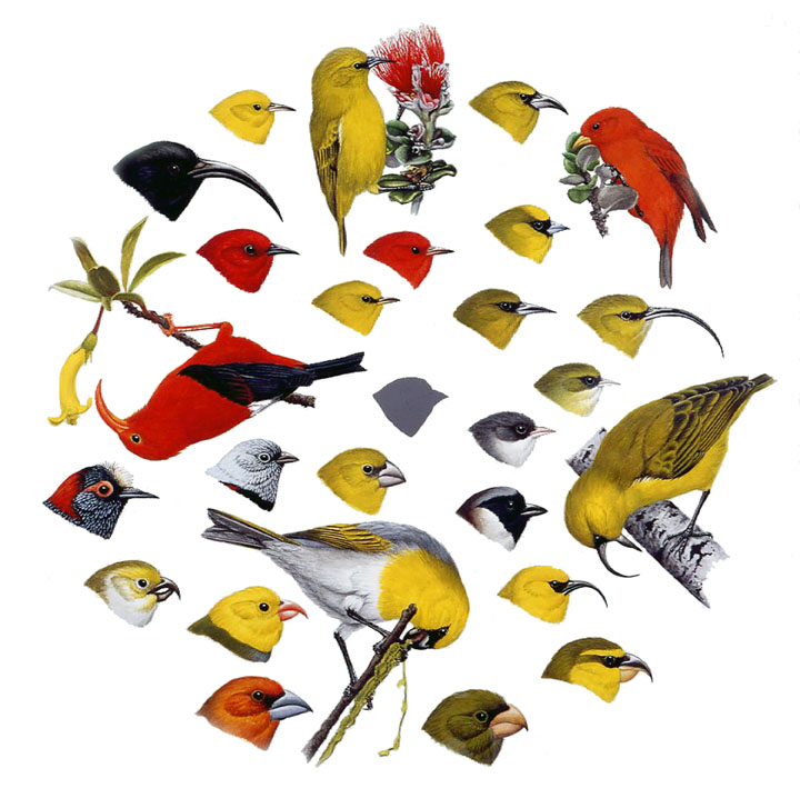Illustration of yellow and red honeycreepers. They are small birds with long beaks. Several are feeding from ohia lehua.