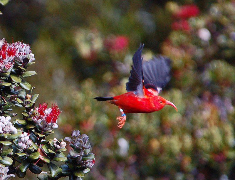 'I'iwi in flight, black wings, red body, long bill. Lehua trees in background.