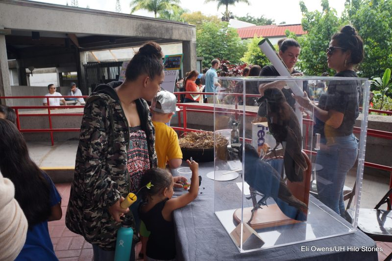Young girl looks at Hawaiian Hawk exhibit .