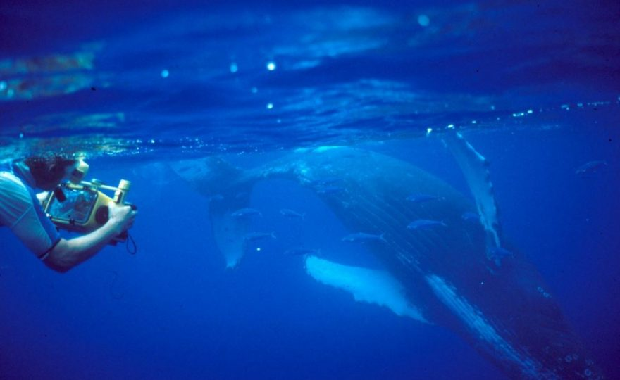 UH Hilo researcher and team investigate behavior of humpback whale mothers in Hawaiian breeding grounds