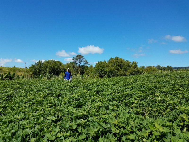 Norman standing in field of sweet potatoes.