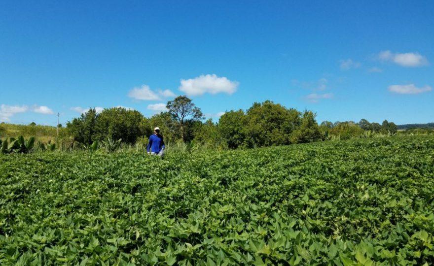Norman standing in field of sweet potatoes.