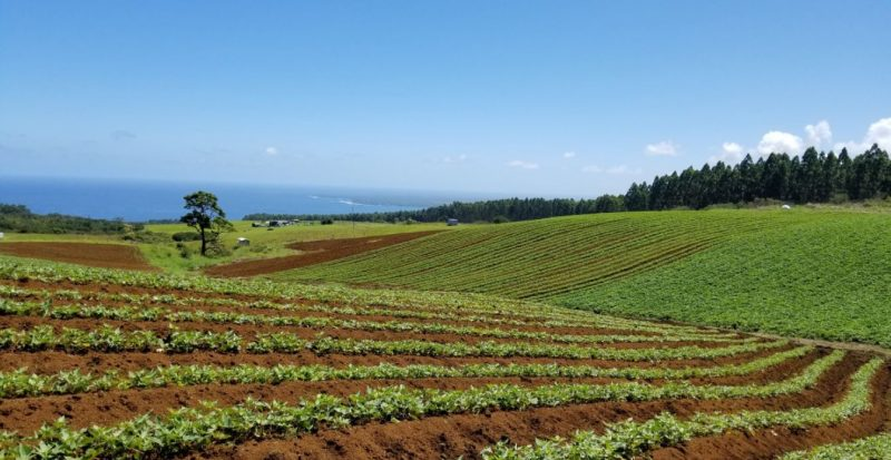Large sweet potato field with ocean in the background.