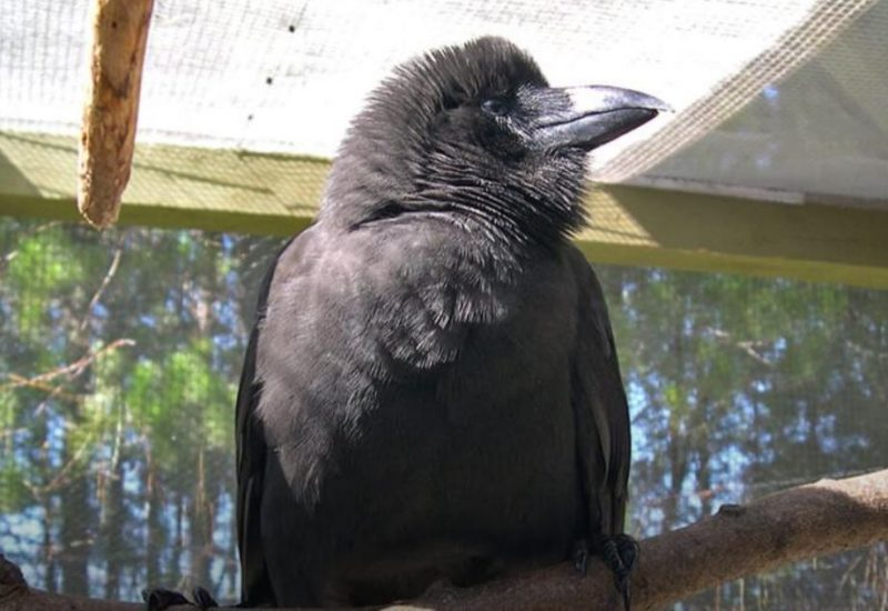 'Alalā (Hawaiian crow) on perch in large enclosure.