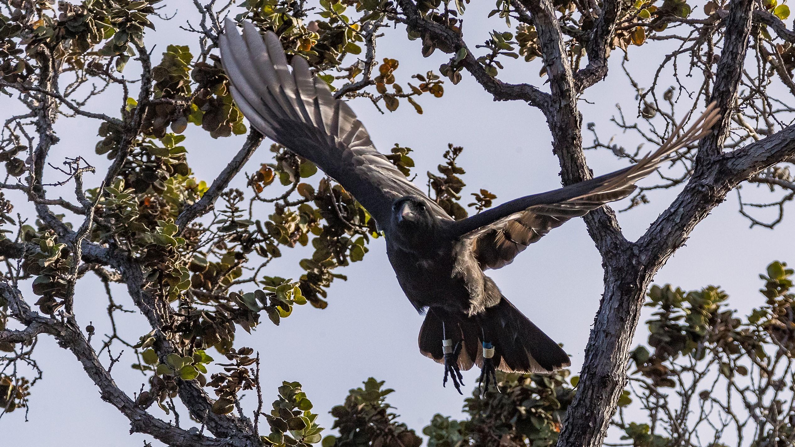 ʻAlalā in flight, ID bands on legs, wings full spread in flight.