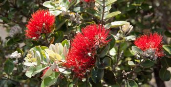 Bright red 'ōhi'a blossoms on tree.