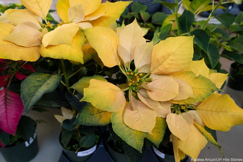 Yellow poinsettia plants
