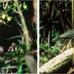 Kakapo and Alala