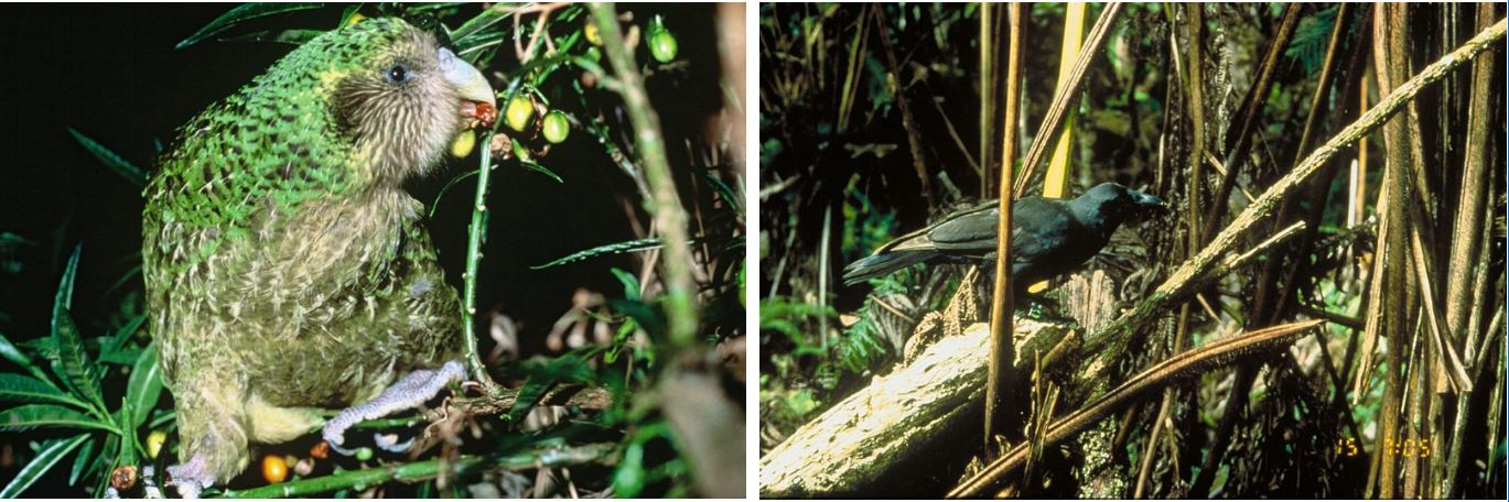 Two photos. The one the left is of a Kākāpō, New Zealand, a green and brown bird, eating berries in a bush. On the right is a photo of 'Alalā, Hawai'i, a blacj crow, sitting on branches of a fallen tree fern in the forest.