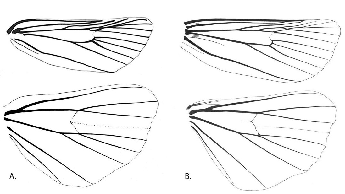 Line drawings of wing venation.