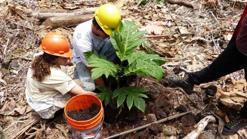 Two researchers with sapling and bucket of soil, planting young ulu tree in forest clearing. Each wears a hard hat.