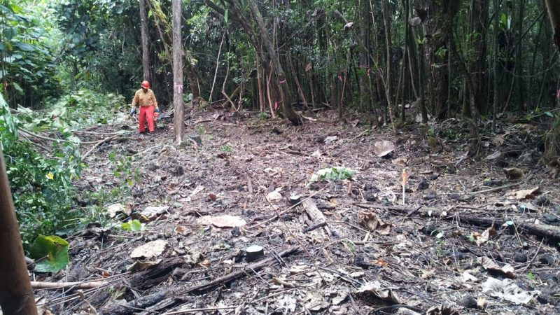 Male walks in cleared space in dense forest. Felled tree stumps.