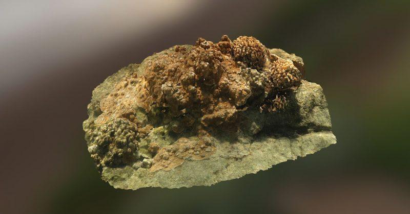 Montipora capitata and Pocillopora meandrina colonies.