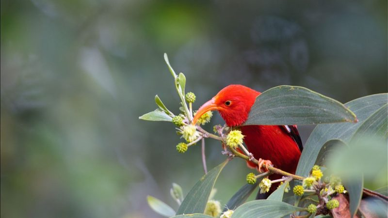 Red 'i'iwi drinking nectar from flower.