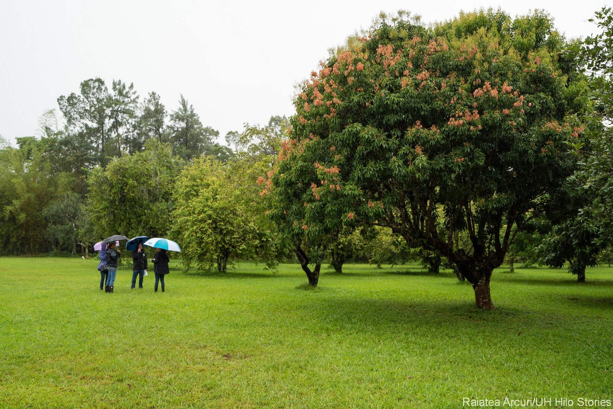 A group of four with umbrellas in the orchard. Beautiful large flowering tree to the side.