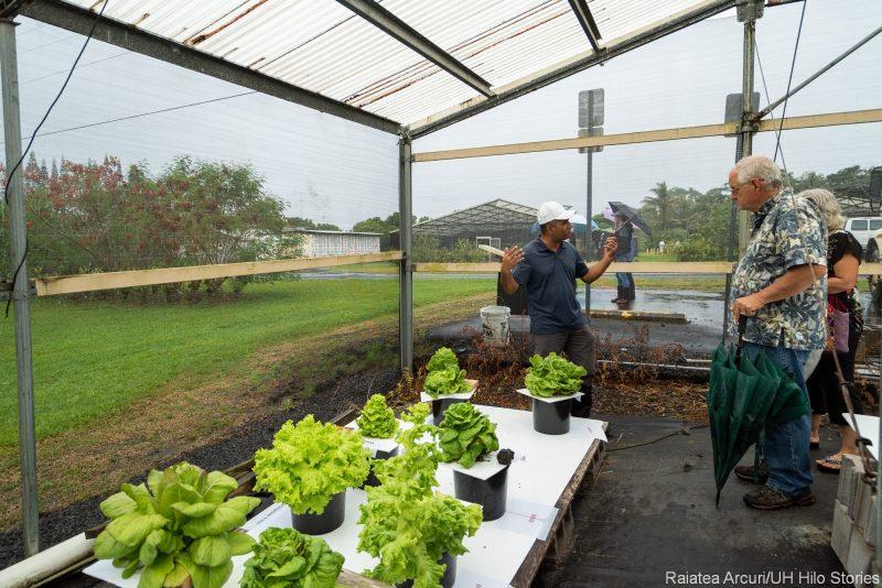 Hydroponics display, lettuce in flats.