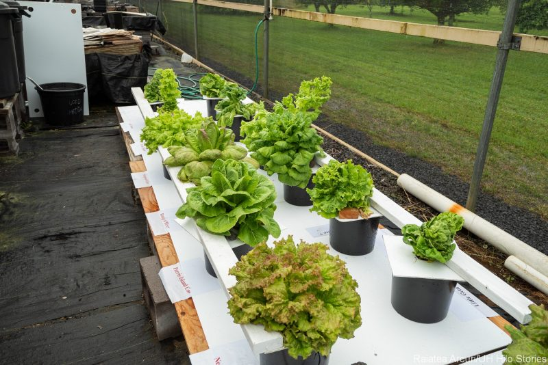 Lettuce trials.