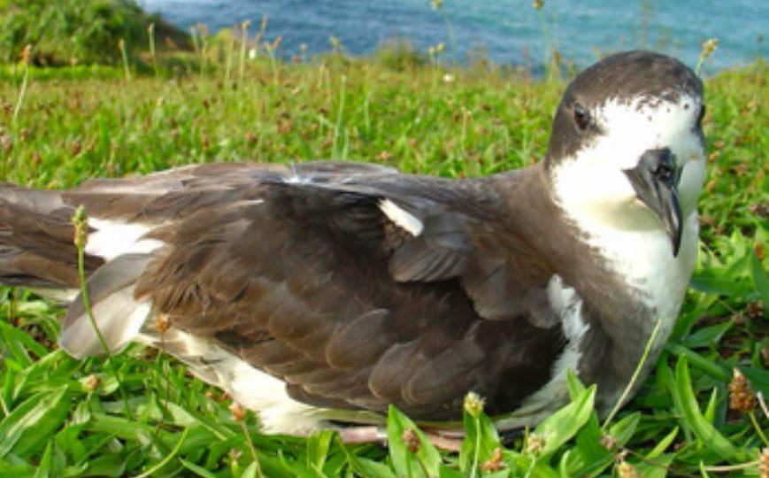 UH Hilo bioaccoustics researchers hear endangered seabird on Maunakea