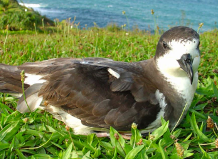 UH Hilo bioaccoustics researchers hear endangered seabird on Maunakea