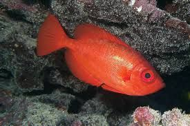 Red fish with large black eyes swimming among rocks.