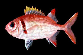 Red fish with large black eyes, yellow tipped dorsal.
