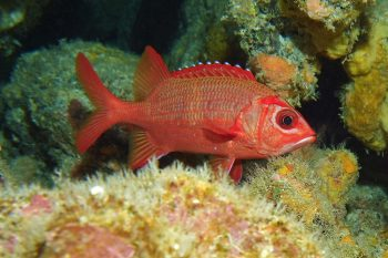 Red fish with large black eye resting on coral.