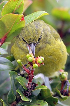 Small green bird drinking nector from lehua blossom.