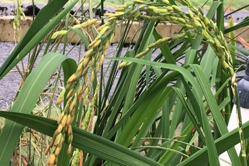 Yellow rice growing on bent over stalks.