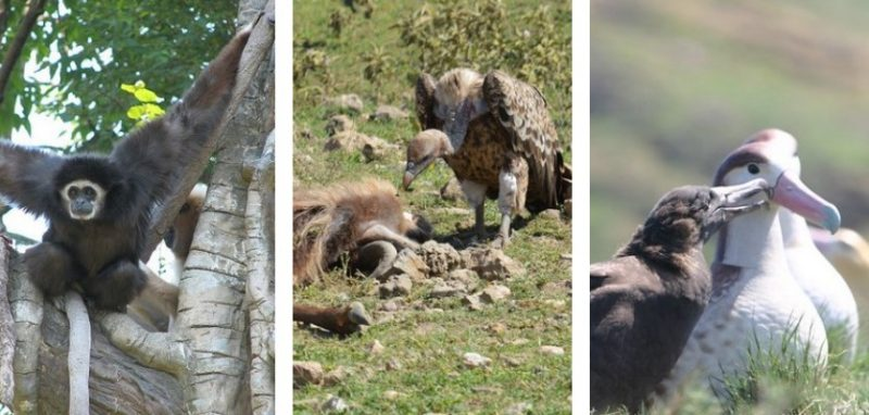 Three photos: from left, large black gibbon in tree, vulture eating carcass, and white albatross with brown chick.