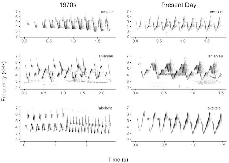 Six graphs showing changes in the bird song frequencies from the 1970s to the present. Two graphs comare the 'amakihi, two compare the 'anianiau. and two compare the 'akeke'e.