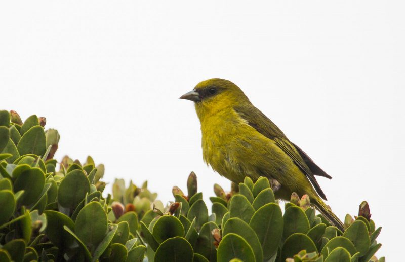 Small green bird on lehua tree.