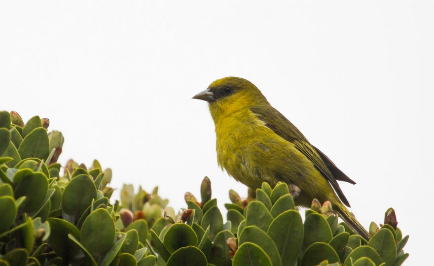 A quieter forest: UH Hilo biologists document loss of bird song in Hawaiian honeycreepers on Kaua'i